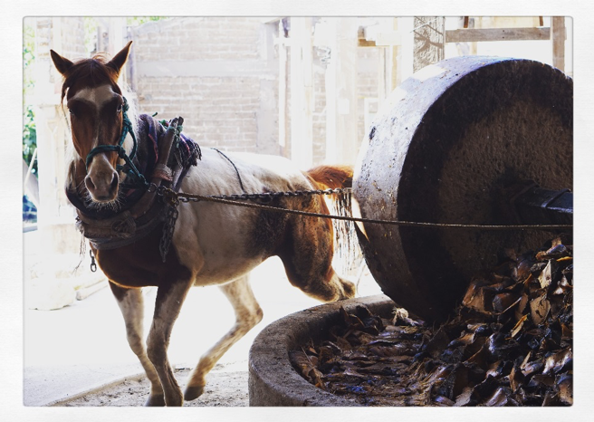 Horse making mezcal Mexico
